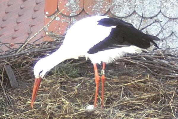 Das erste Ei liegt im Nest