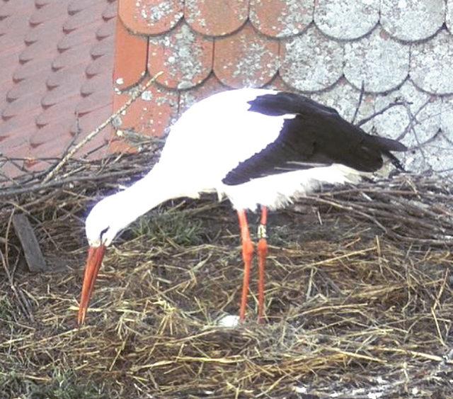 Ei im Nest des Storchenzentrums